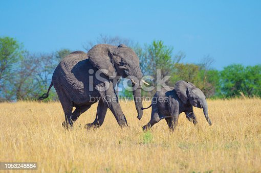 Elephant mother and calf. They are being playful on the African savannah