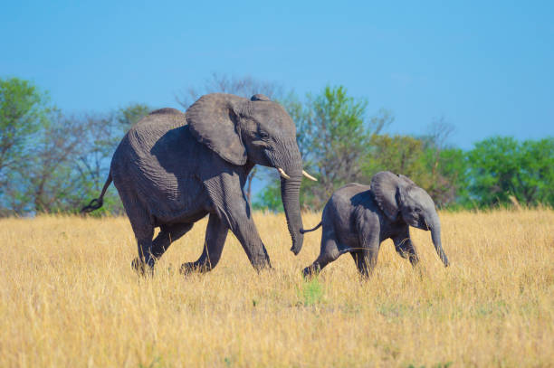Elephant mother and calf. Elephant mother and calf. They are being playful on the African savannah african elephant stock pictures, royalty-free photos & images