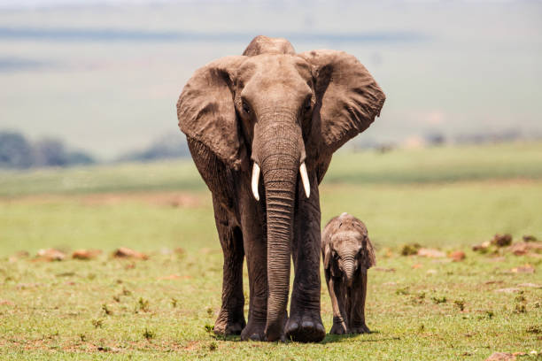 Elephant mother with calf Masai Mara in Kenya Elephant mother with calf walking on the plains of the Masai Mara National Park in Kenya elephant calf stock pictures, royalty-free photos & images