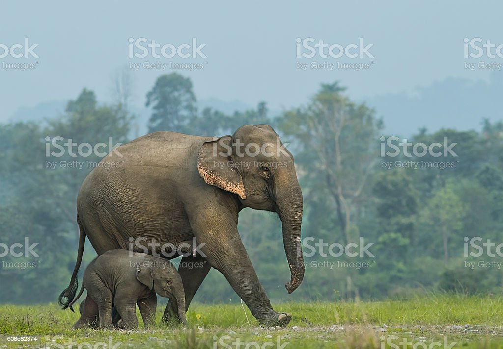 Elephant mother with calf stock photo