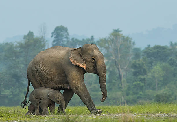 Elephant mother with calf This mother and calf came early in the morning from Nepal. Shot taken at Nepal 2016.  elephant calf stock pictures, royalty-free photos & images