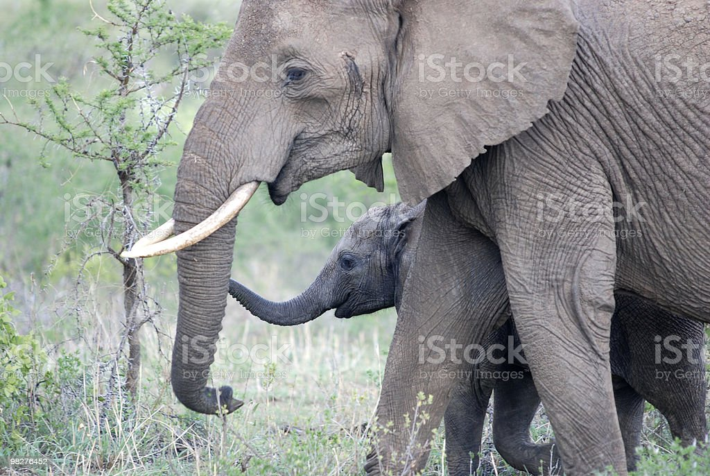 Elephant mother with calf royalty-free stock photo