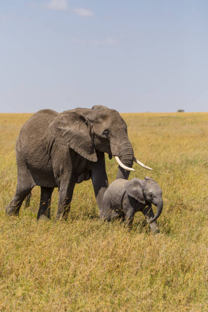 Elephant mother with her baby Elephant walking with her baby elephant calf stock pictures, royalty-free photos & images