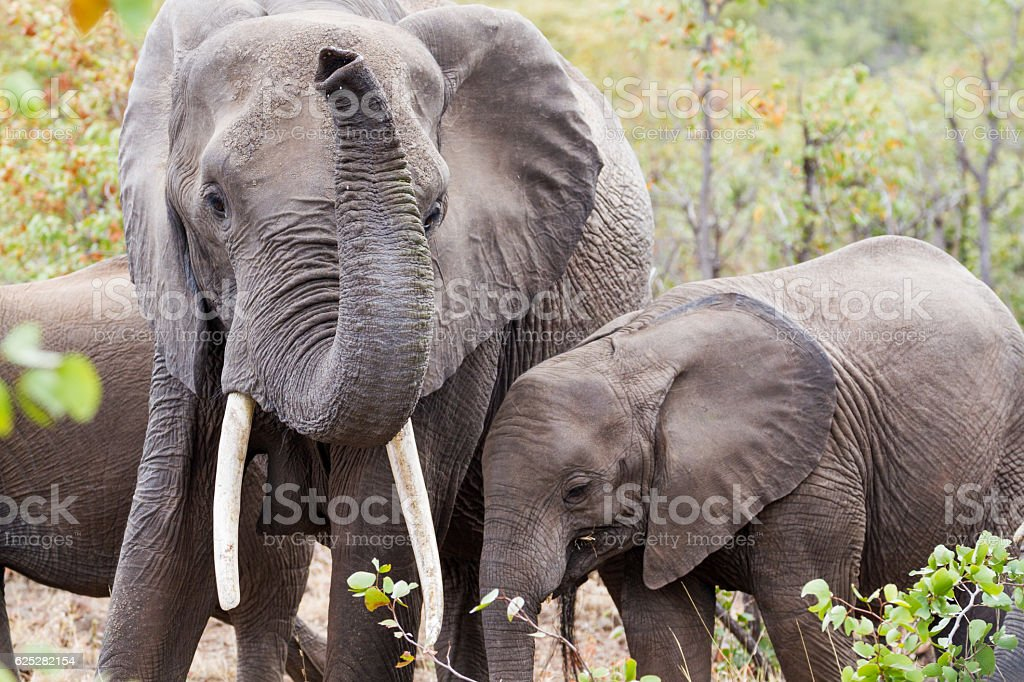 Elephant Mother & Young stock photo