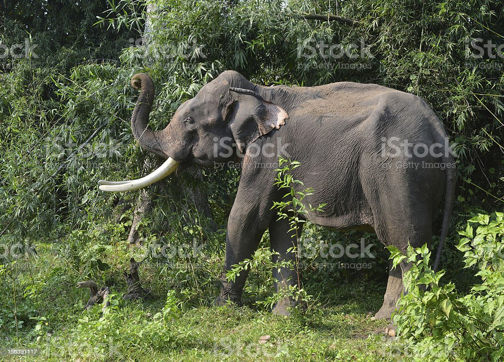 Elephant, Nepal stock photo