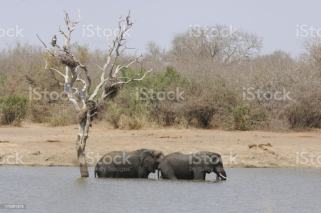 Elephant No.1, one of the big five royalty-free stock photo