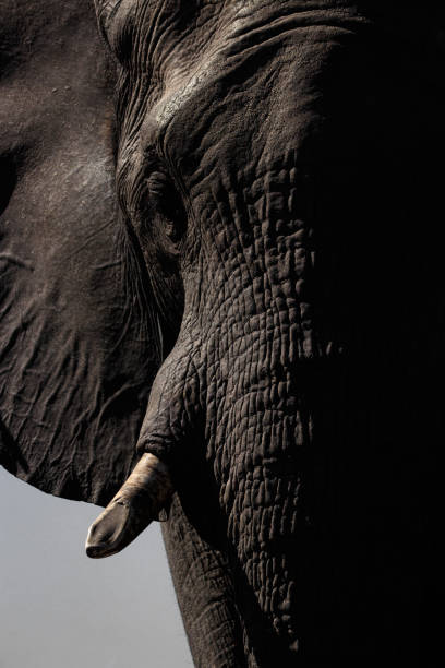 Elephant. Okavango Delta, Botswana, Africa stock photo