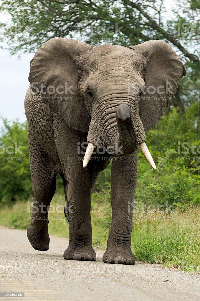 Elephant on the Road stock photo