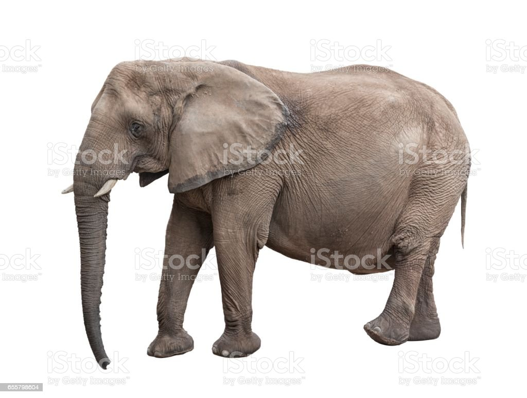 Elephant on White Background stock photo