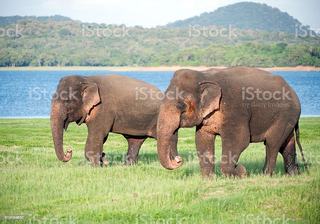 Elephant pair, Minneriya National Park, Sri Lanka stock photo