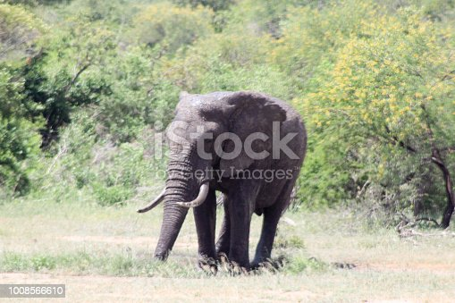 Elephant. Photo taken in the Kruger National Park, South Africa