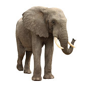 Big african elephant standing still, isolated