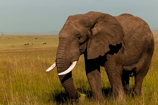 Elephant  tusk stock pictures, royalty-free photos & images