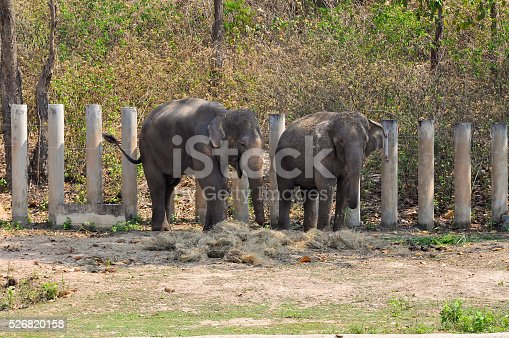 Asian elephants, smaller than their African cousins, are highly endangered