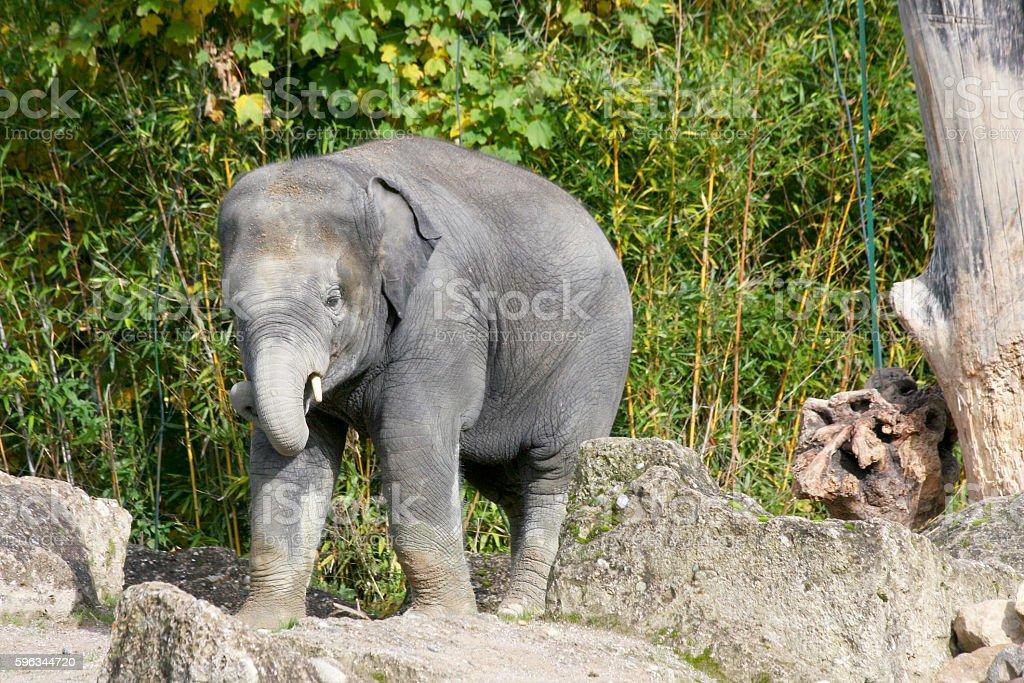 Elephant   (elephantidae) royalty-free stock photo