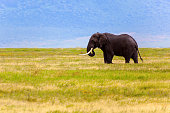 Elephant bull walking in open grassfield; Loxodonta Africana   Tanzania   Africa