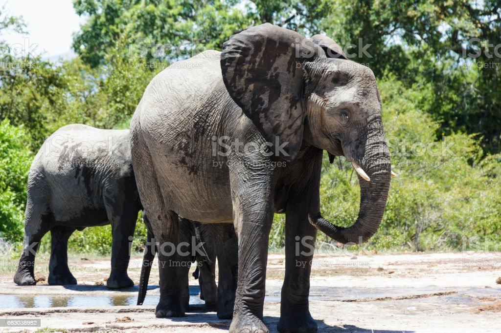 Elephant foto de stock royalty-free