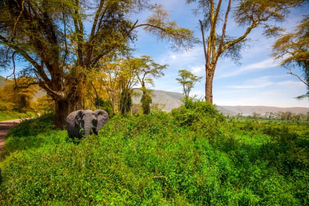 elephant - afrikanische steppe dürre stock-fotos und bilder