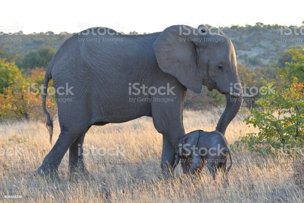 Elephant – Foto