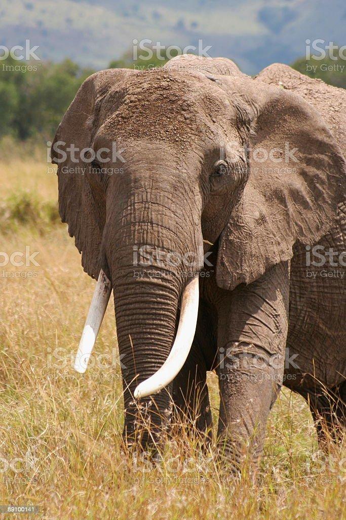 Слон Стоковые фото Стоковая фотография