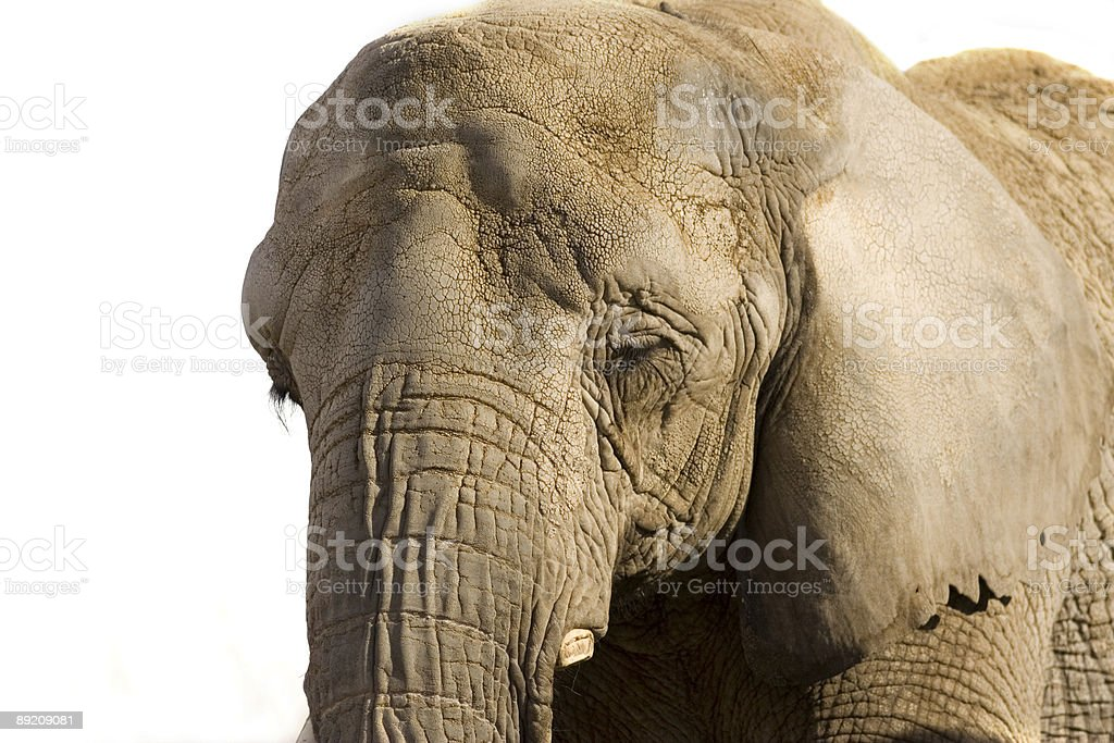 Éléphant - Photo