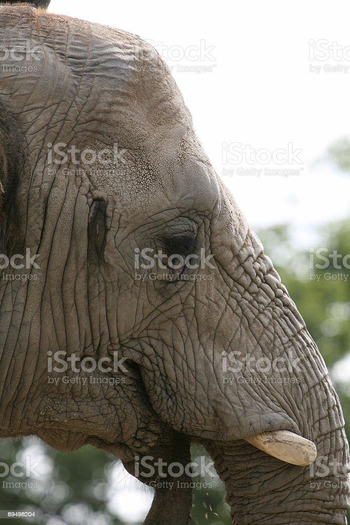 Elephant royalty free stockfoto