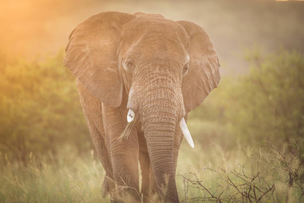 elephant - wildlife conservation stock photos and pictures