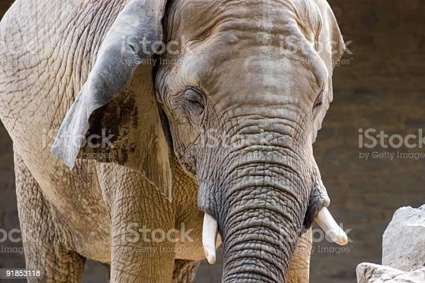 Elephant Stock Photo - Download Image Now
