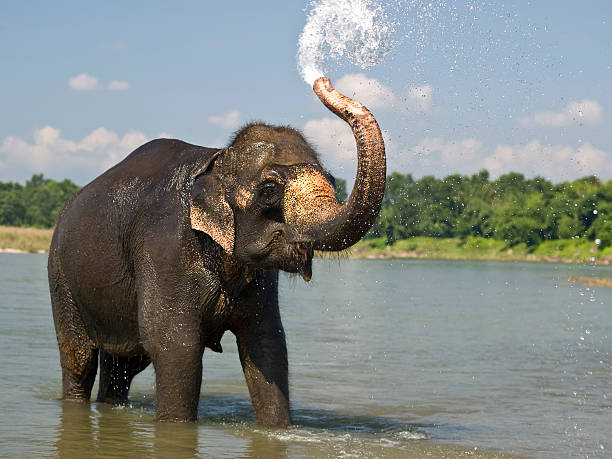 elephant  animal trunk stock pictures, royalty-free photos & images