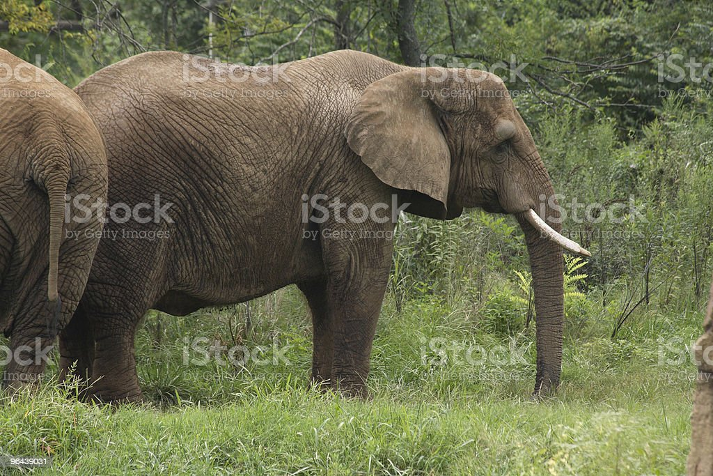 Elefante - Foto de stock de Animal royalty-free