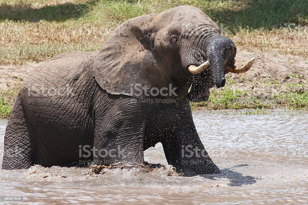 Elephant playing in water , trunk over tusk royalty-free stock photo