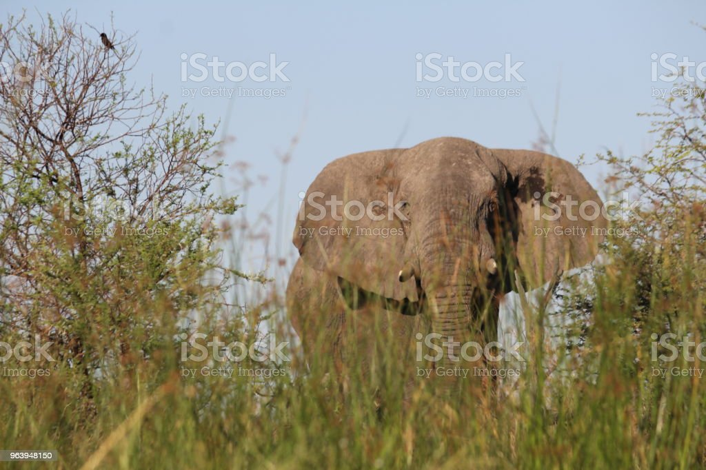 Elephant popping up behind the grass - Royalty-free African Elephant Stock Photo
