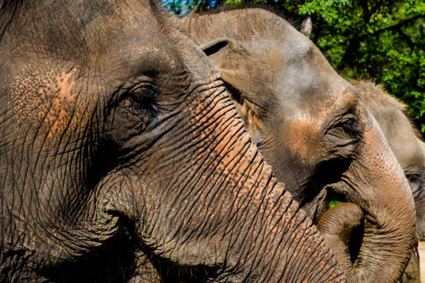 Elephant portrait, close up and skin texture, Reserve of elephants at Chiang Mai stock photo
