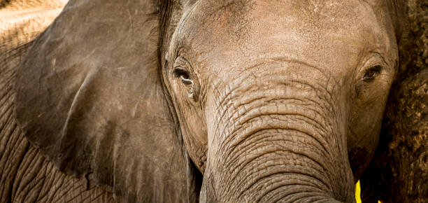 elephant portrait close up - wildlife conservation stock photos and pictures