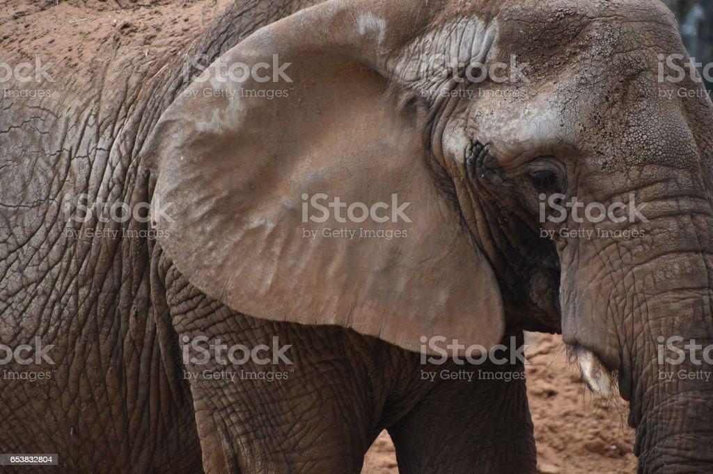 Elefantenprofil - Stockfoto   iStock