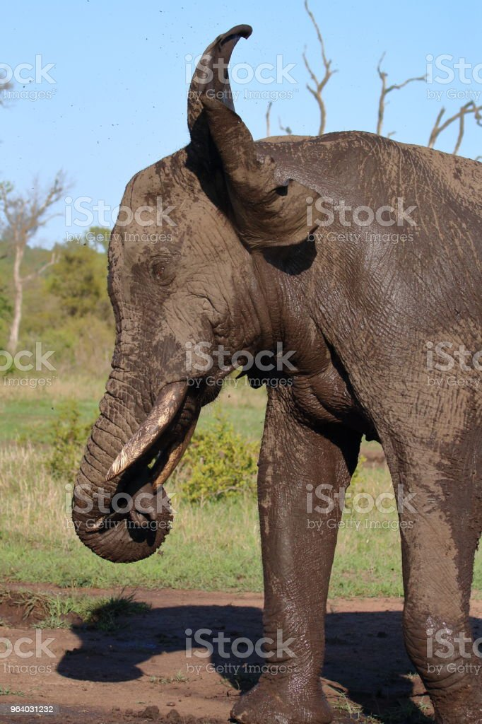 泥風呂後耳を振る象プロフィール - アフリカのロイヤリティフリーストックフォト