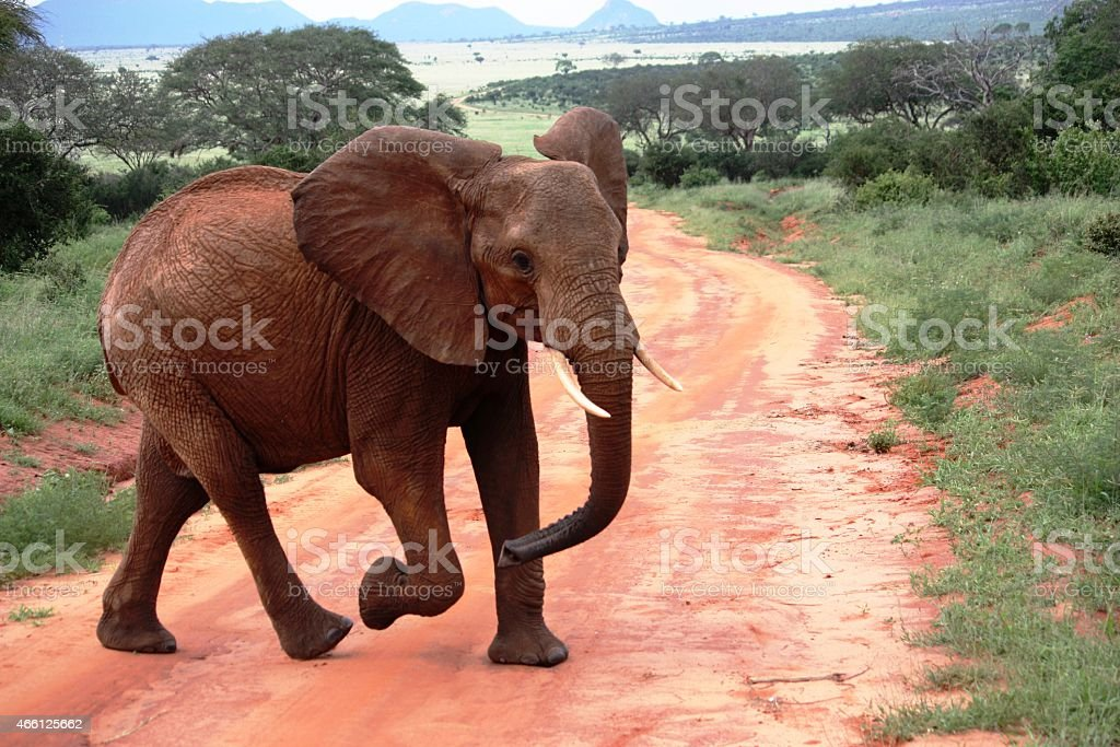 Elephant, red African Elephant in Kenya stock photo