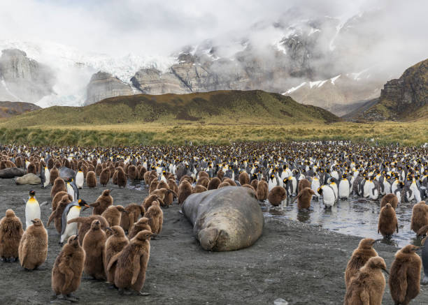 Elephant seal and king penguin adults and chicks at Gold Harbour, South Georgia Island stock photo
