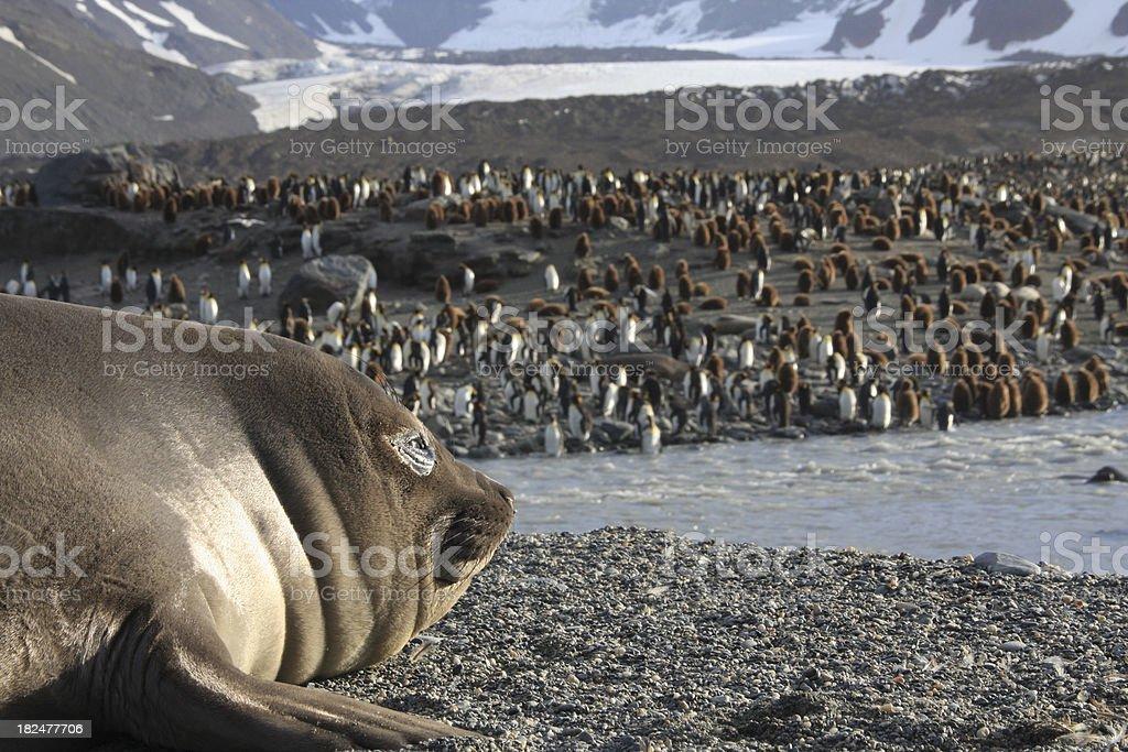 Elephant Seal and King Penguin Colony royalty-free stock photo
