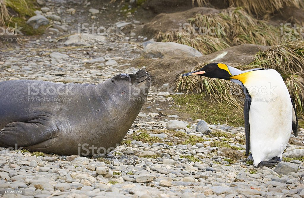 Elephant seal and Penguin royalty-free stock photo