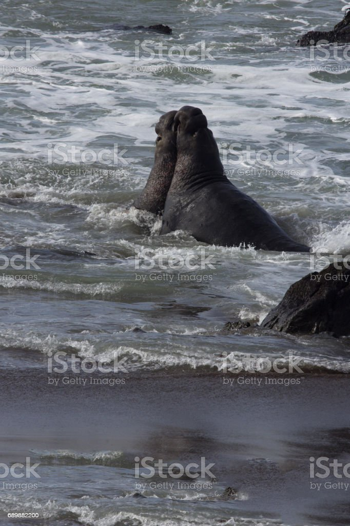 Elephant seal bulls fight in California surf at Piedras Blancas Rookery stock photo