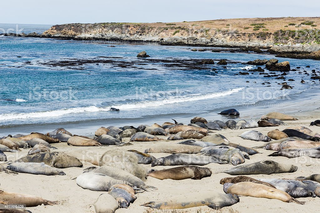 elephant seal colony royalty-free stock photo