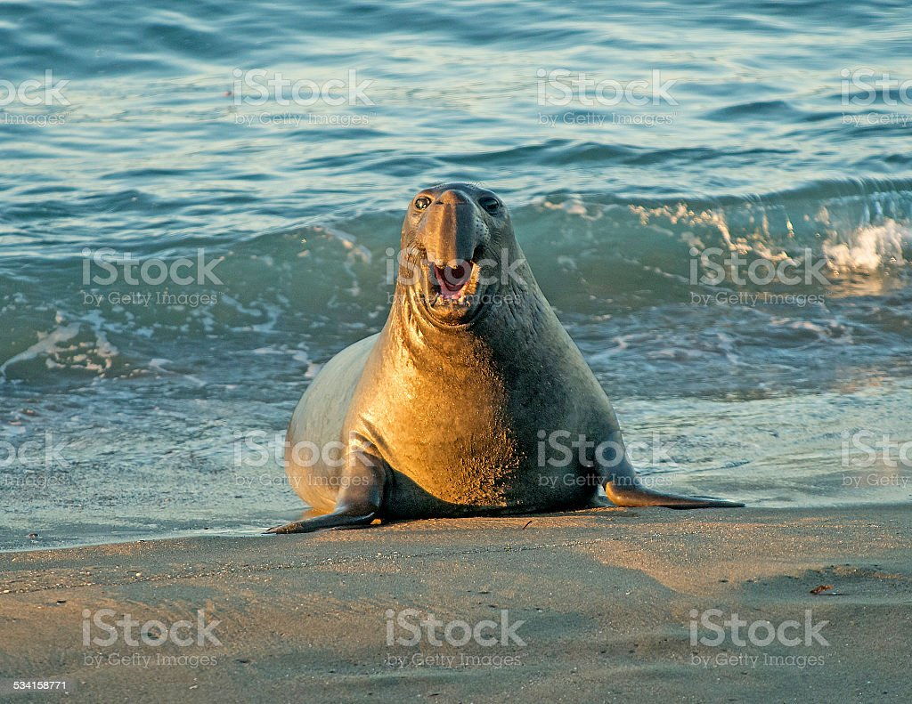 Elephant Seal Emerging From Surf stock photo