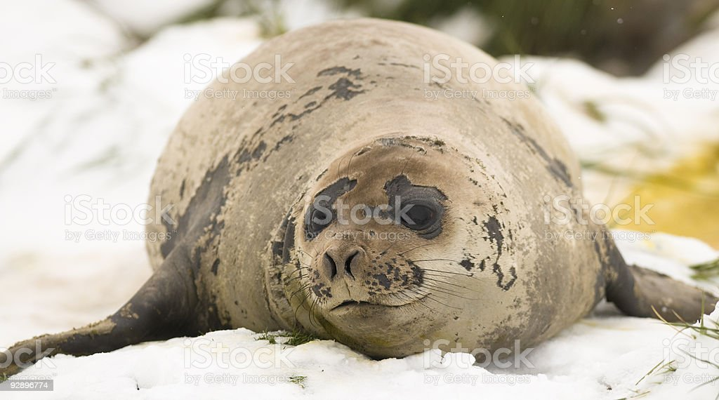 Elephant Seal Female Lying in the Snow stock photo