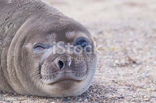 istock Elephant seal on beach close up, Patagonia, Argentina 1136052714