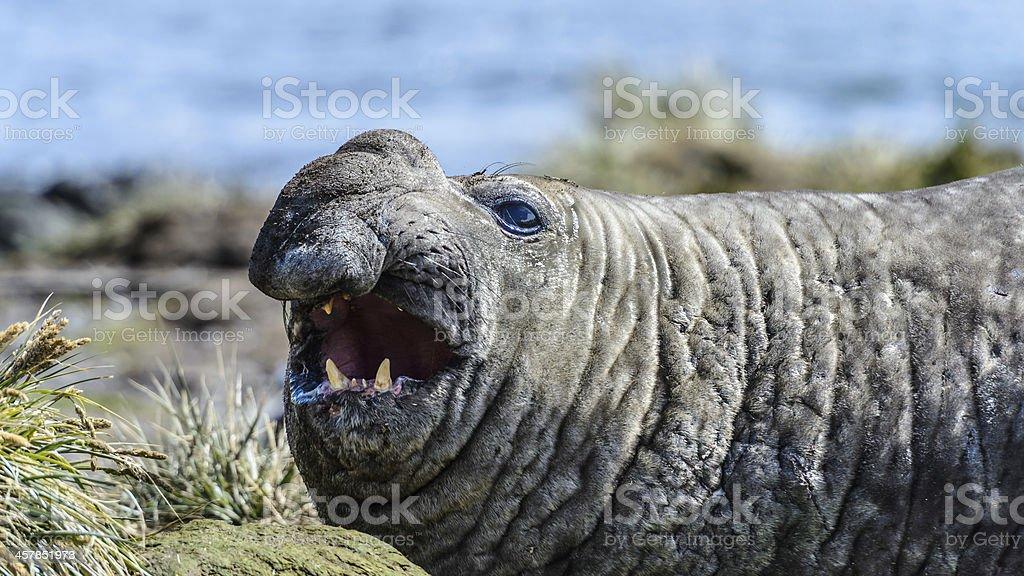 Elephant seal royalty-free stock photo