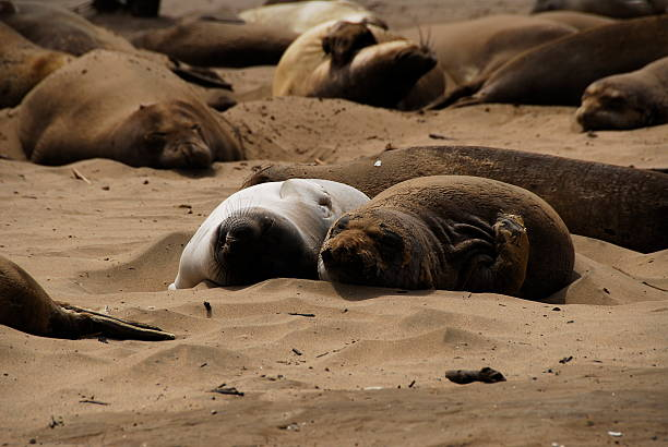 Elephant Seal pups molting and snoozing stock photo