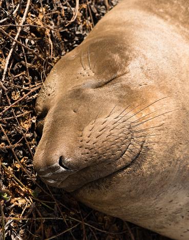 istock Elephant Seal Wild Mammal Lays Resting Pacific Ocean SeaShore 636756842