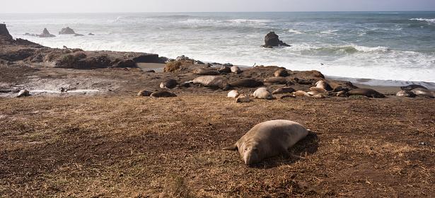 istock Elephant Seal Wild Mammal Lays Resting Pacific Ocean SeaShore 636903552