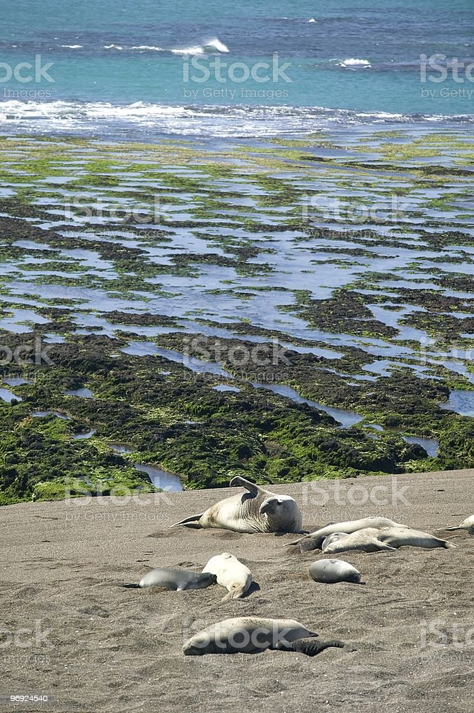 Elephant seal with his harem royalty-free stock photo